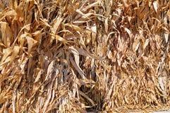 Árbol secado del maíz Imagen de archivo libre de regalías