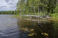 Árbol secado en el banco del lago Foto de archivo