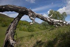 Árbol seco Fotos de archivo libres de regalías