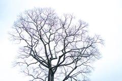 Árbol seco con el cielo blanco Fotografía de archivo libre de regalías