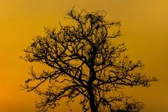 Árbol seco de la silueta Fotografía de archivo libre de regalías