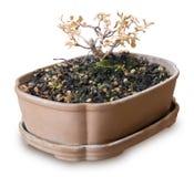 Árbol seco de los bonsais en maceta en el fondo blanco Fotografía de archivo libre de regalías