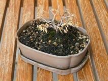 Árbol seco de los bonsais en maceta en la tabla de Brown Foto de archivo libre de regalías