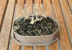 Árbol seco de los bonsais en maceta en una tabla Fotos de archivo