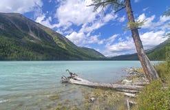 Árbol seco en el agua cerca de la orilla Lago Kucherla Soporte de Altai Imagen de archivo libre de regalías