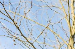 Árbol seco en el cielo azul Foto de archivo libre de regalías