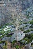 Árbol seco en las rocas cubiertas con el MUSGO fotografía de archivo libre de regalías