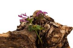 Árbol seco en primavera Imagen de archivo