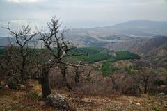 Árbol seco en una ladera cubierta con los árboles de pino Fotos de archivo libres de regalías