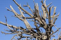 Árbol seco muerto dentado debajo del cielo azul Fotografía de archivo