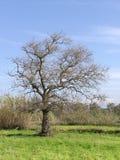Árbol seco solo Foto de archivo libre de regalías