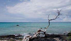 Árbol seco solo en la playa de Anaeho'omalu fotografía de archivo