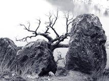 Árbol seco solo por encima de la superficie Foto de archivo libre de regalías