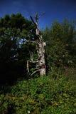 Árbol seco viejo Fotos de archivo