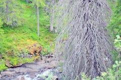 Árbol seco viejo en una pequeña orilla del río Fotos de archivo