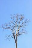 Árbol seco y cielo azul Foto de archivo libre de regalías