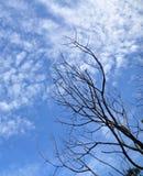 Árbol seco y cielo azul Fotos de archivo libres de regalías