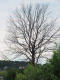 Árbol sin follaje Fotos de archivo libres de regalías