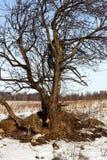 Árbol sin follaje con las raíces en nieve Fotos de archivo libres de regalías