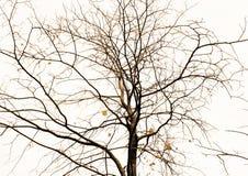Árbol sin la hoja con la rama flexible Fotografía de archivo
