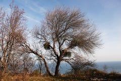 Árbol sin las hojas Imágenes de archivo libres de regalías