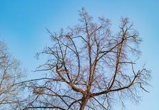Árbol sin las hojas contra el cielo Imagen de archivo libre de regalías
