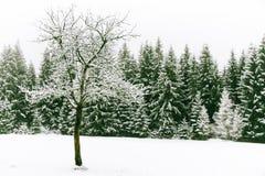 Árbol sin las hojas en el primero plano y el bosque spruce del árbol cubiertos por la nieve fresca durante tiempo de la Navidad d Fotos de archivo libres de regalías