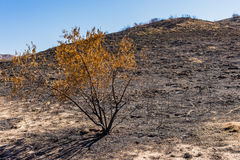 Árbol sin vida después del incendio fuera de control Fotos de archivo libres de regalías