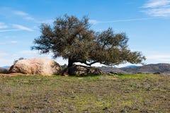 Árbol solitario con los cantos rodados en su base en Ramona Grasslands Preserve Imagenes de archivo