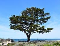 Árbol solitario de Monterey Cypress Imagen de archivo