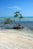 Árbol solitario del mangle Imágenes de archivo libres de regalías