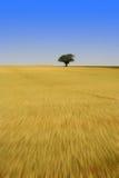 Árbol solitario en campo de maíz Imágenes de archivo libres de regalías