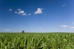 Árbol solitario en campo de maíz Fotos de archivo libres de regalías