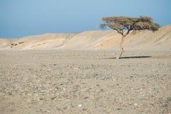 Árbol solitario en el desierto Foto de archivo libre de regalías
