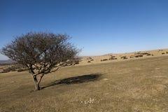 Árbol solitario en el parque nacional de Dartmoor Foto de archivo