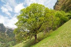 Árbol solitario en la ladera Imagen de archivo