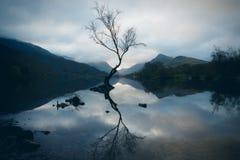 Árbol solitario en Llyn Padarn foto de archivo libre de regalías