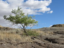 Árbol solitario en los Badlands - Tyrell Museum Alberta real Imagen de archivo libre de regalías