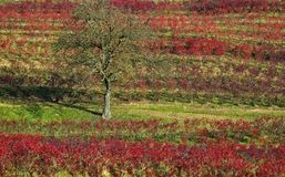 Árbol solitario en un viñedo imagenes de archivo