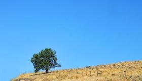 Árbol solitario en una colina de oro Fotos de archivo libres de regalías