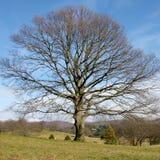 Árbol solitario grande Fotos de archivo