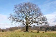 Árbol solitario grande Foto de archivo libre de regalías