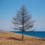 Árbol solitario que se coloca en la playa Foto de archivo libre de regalías