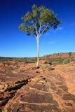Árbol solitario - reyes Canyon, Australia Imagenes de archivo