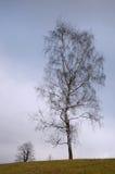 Árbol solo - abedul La colina por la mañana Imágenes de archivo libres de regalías