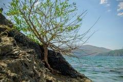 Árbol solo aumentado en la roca Foto de archivo libre de regalías