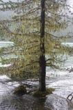 Árbol solo brumoso Imagen de archivo libre de regalías