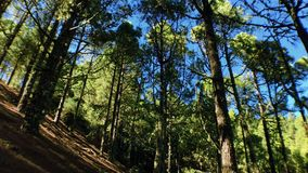 Árbol solo con los pinos
