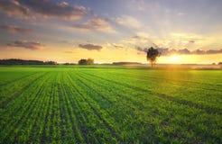 Árbol solo contra en puesta del sol. Imágenes de archivo libres de regalías