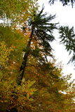 Árbol solo de O en Poiana Brasov Foto de archivo